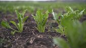 Beetroot Grows In The Field. Fields With Beets. The Plant Is A Beet In The Field In The Evening At S poster