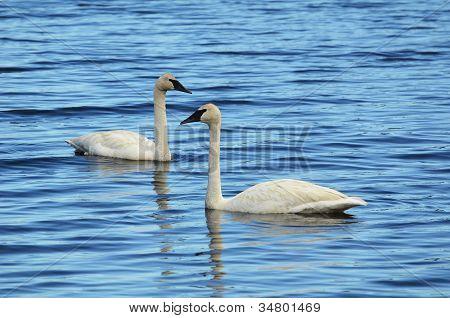 A Pair Of Trumpeter Swan (cygnus Buccinator)