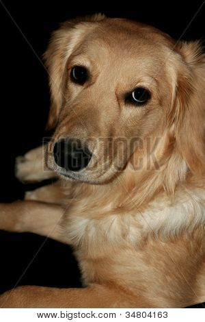 Pleading Golden Retriever