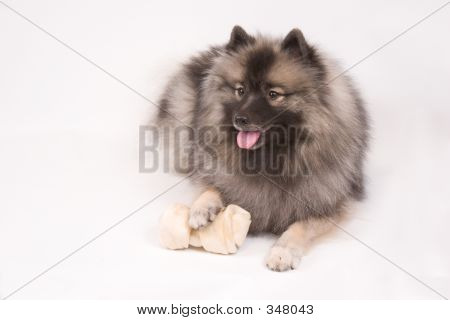 Young Female Keeshond