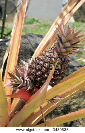 Growing Pineapple
