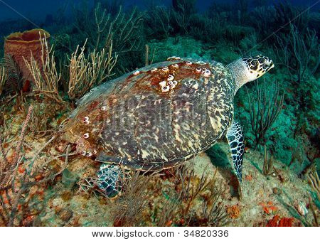 Hawksbill Turtle on a reef