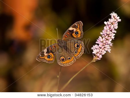 Borboleta Buckeye (Junonia coenia)
