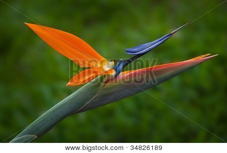 Bird of Paradise (Strelitzia) flower