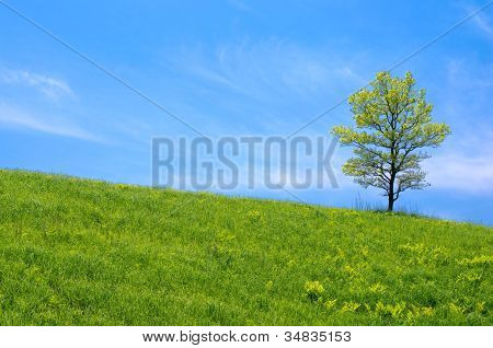Oak tree in the grassy plain