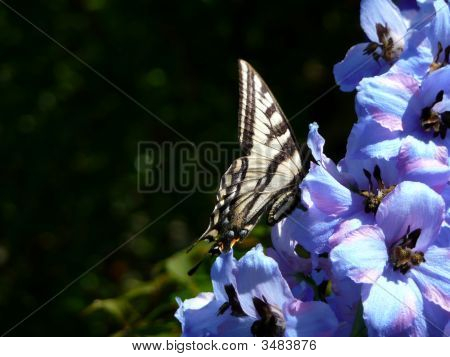Pale Swallowtail Butterfly On Delphinium
