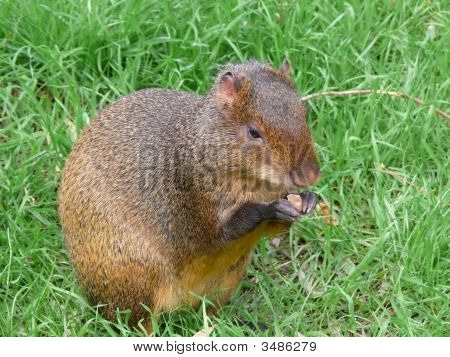 Rodent Nutria
