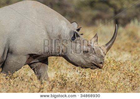 Black rhinoceros in Etosha National Park, Namibia