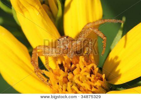 Crab Spider on a Sunflower