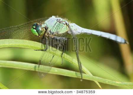 Blue Dasher (Dragonfly)