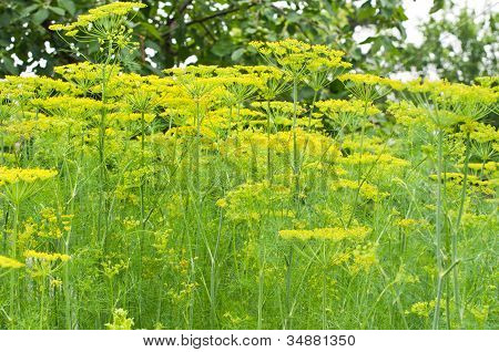 Plant Of Dill