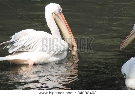 White Pelican With A Fish In His Beak , Pelecanus Occidentalis
