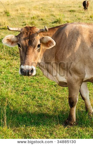 Brown cow gazing to the camera