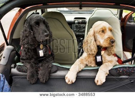 Cocker Spaniel Dogs