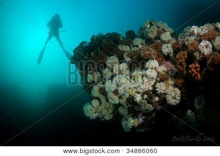 Diver Over Reef Covered With Sea Anemones In Sea Of Japan