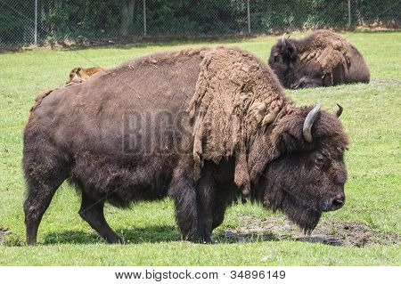 North American Bison 2