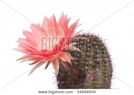 Close Up Of A Cactus Flower