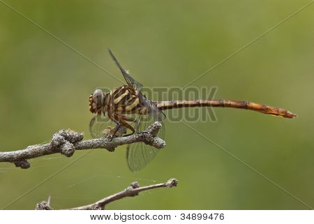 profile of a dragonfly