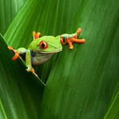 stock photo of cute frog  - red eyed tree frog crawling between leafs in jungle at border of Panama and Costa Rica in the tropical rainforest - JPG