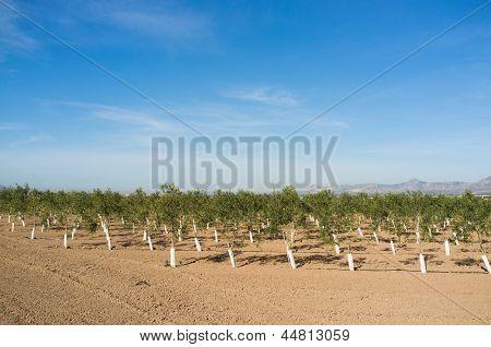 Olive Tree Arboretum