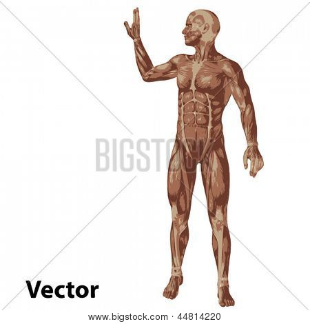 Vector eps concept or conceptual human or man 3D anatomy body with muscle isolated on white background as a metaphor to medicine,sport,male,muscular,medical,health,biology or fitness group or set