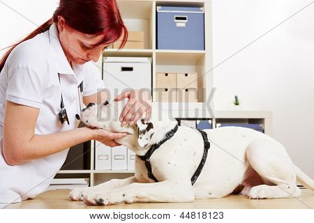 Veterinarian examing boxer dog in her animal clinic