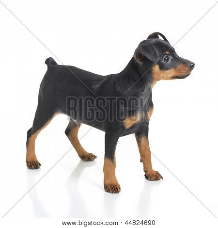 Miniature Pinscher puppy isolated on white background