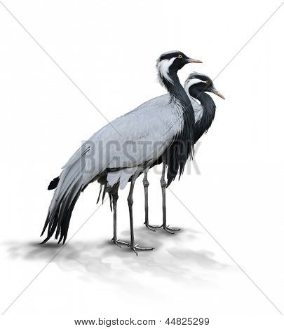 Two Demoiselle Crane Birds On White Background