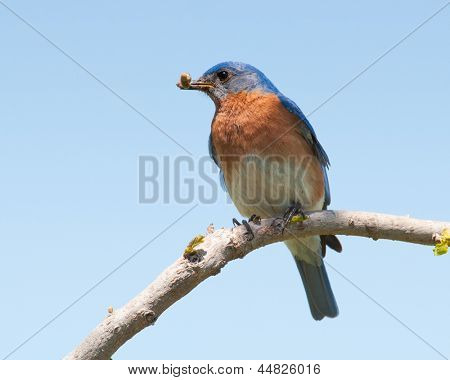 Male Eastern Bluebird with an insect in his beak for the brood