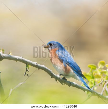 Male Eastern Bluebird carrying insects to feed his brood