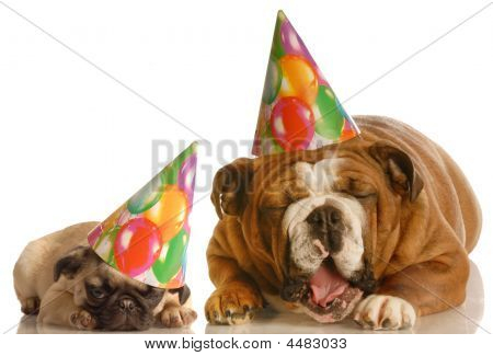 Groaning Birthday Bulldog And Pug
