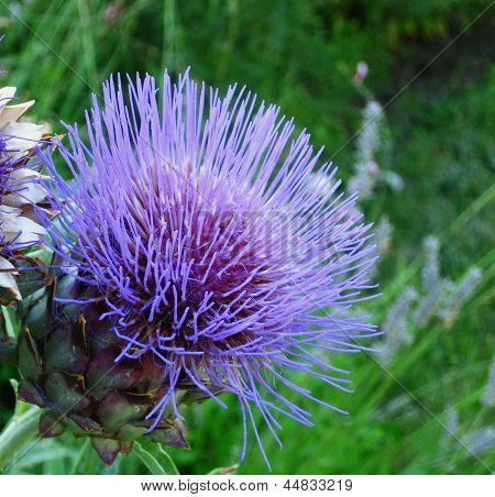 Flowering purple artichoke