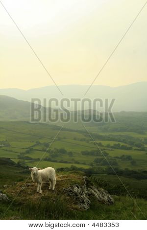 A Sheep In Wales. Snowdonia