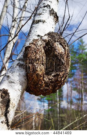 Monstrous Excrescence On The White Birch Trunk