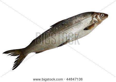 Fresh Whitefish