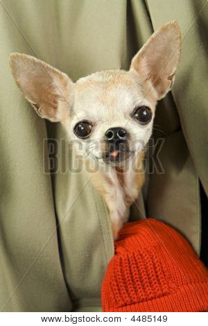 Dog In Pocket