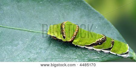 Papilio Polytes Romulus Raupe