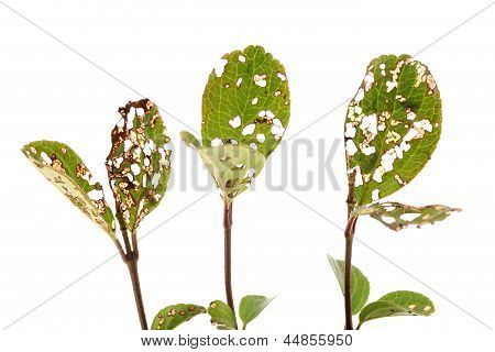 Leaves with holes