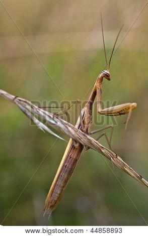 Brown Praying Mantis - Mantis Religiosa
