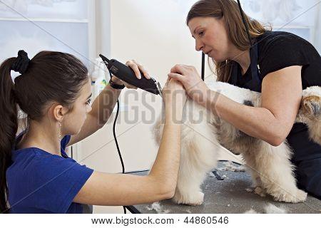 Hairdresser mows fox terrier fur on the back