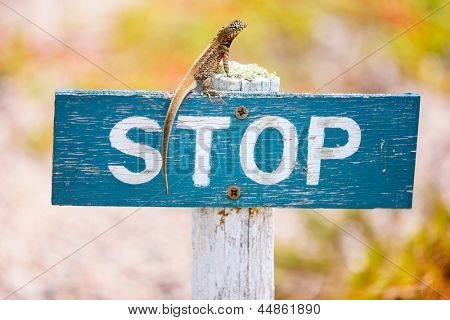 Lava lizard endemic to the Galapagos Islands on a stop sign