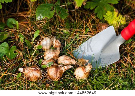 Flower Bulbs In The Garden