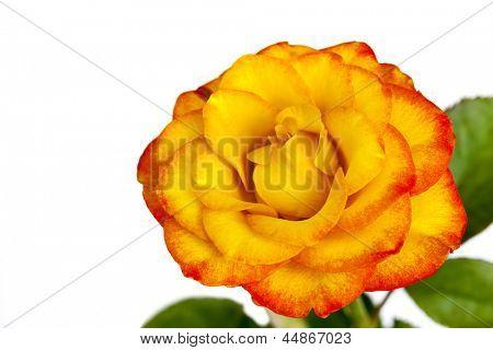 Yellow rose with reddish tinge, isolated over white background.