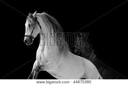 Horses Fight
