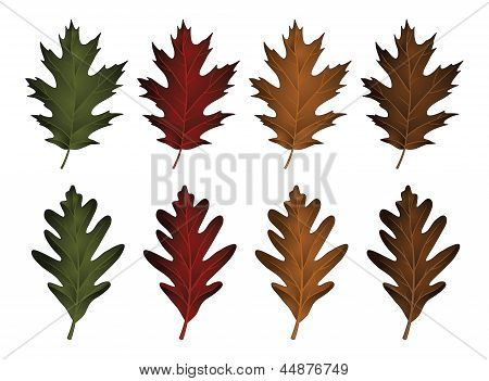 Oak Leaves-Black Oak And White Oak