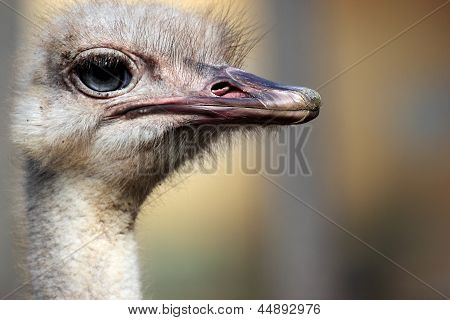 Head Of An Ostrich (struthio Camelus)
