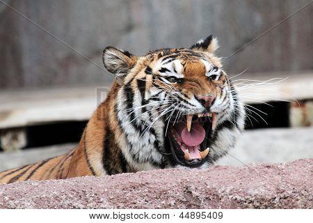 Siberian Tiger (panthera Tigris Altaica) Showing Teeth