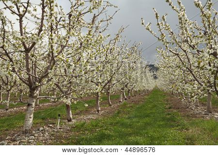 Okanagan Cherry Orchard Blossoms, British Columbia