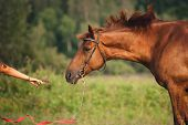 image of horses eating  - girl feeding a horse hay in summer