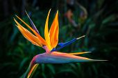 pic of bird paradise  - Bird of Paradise Plant in Full Seasonal Bloom - JPG